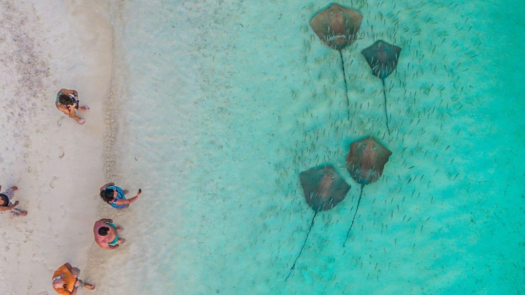 Stingray Feeding Activity in Maldives